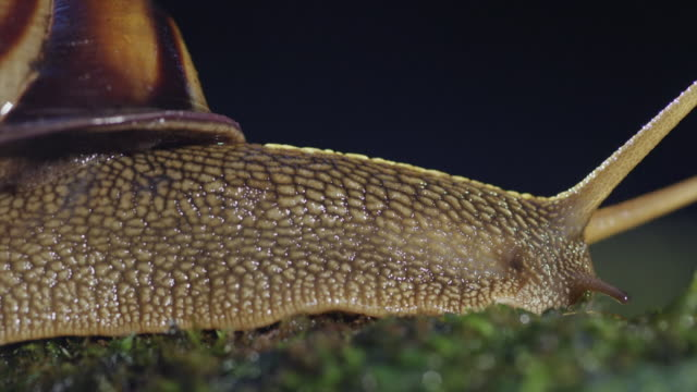 view of an acusta despecta (kind of snail) at geumgang, mujugun - snail stock videos & royalty-free footage