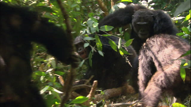 view of an angry male chimpanzee in manyara national park (famous spot for study about chimpanzees) in tanzania - chimpanzee stock videos & royalty-free footage