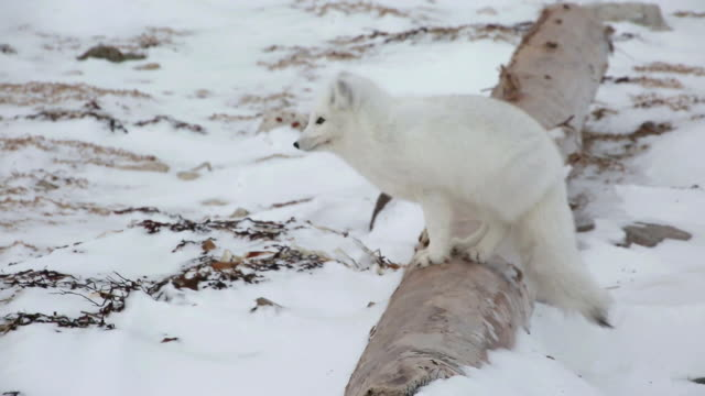 view of an arctic fox in churchill, canada - arctic stock videos & royalty-free footage