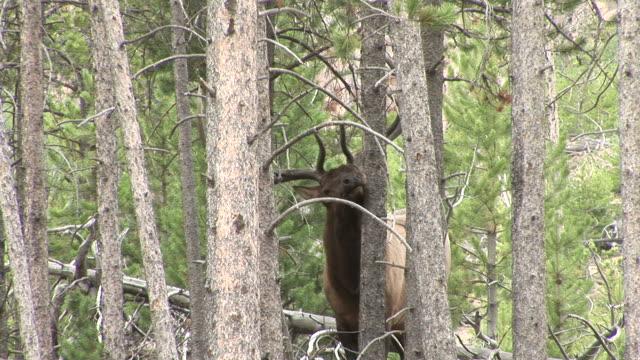 view of an elk in yellowstone national park wyoming united states - hovdjur bildbanksvideor och videomaterial från bakom kulisserna