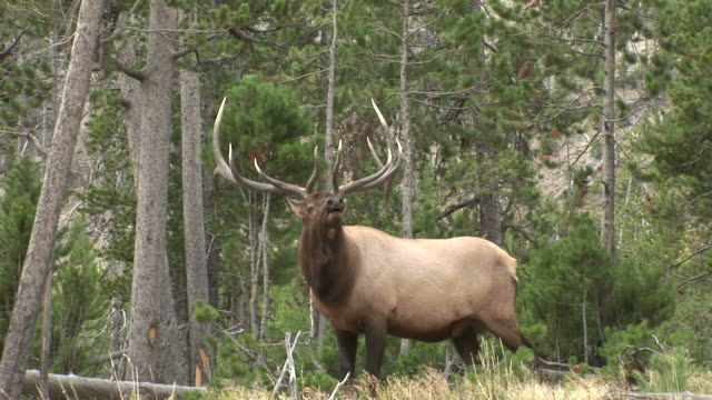 view of an elk in yellowstone national park wyoming united states - bugle stock videos and b-roll footage