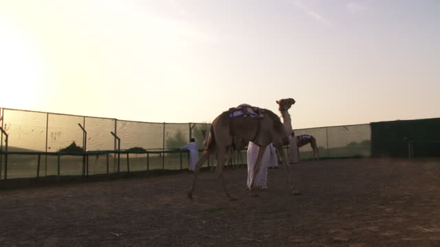 view of an emirati man walking his prize camel in an enclosure at a desert farm. camel racing is a traditional sport and has been an integral part of... - herbivorous stock videos & royalty-free footage