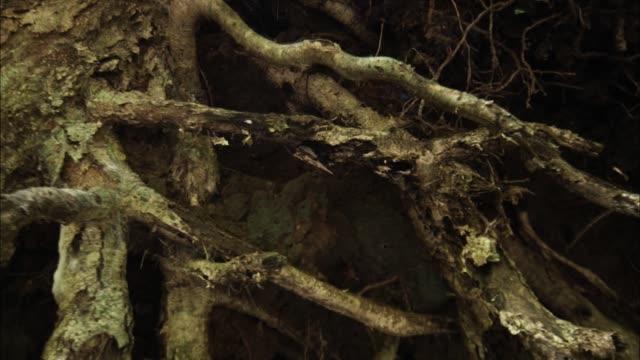 vidéos et rushes de view of an old tree after the flood, papua new guinea - plante grimpante