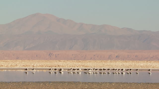 WS View of Andean Avocet, Recurvirostra andina roosting in high altitude salt lake and mountain landscape back side / San Pedro de Atacama, Norte Grande, Chile