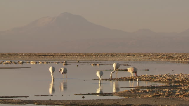 WS View of Andean Flamingos,Phoenicoparrus andinus feeding in high altitude salt lake with mountain landscape back side / San Pedro de Atacama, Norte Grande, Chile