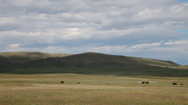 WS T/L View of Angus cows on prairie with dramatic clouds and sun and shadows rolling across landscape / Augusta, Montana, United States