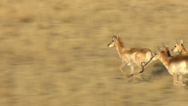 cu aerial view of antelope running through grass plain in mora county / new mexico, united states - プロングホーン点の映像素材/bロール
