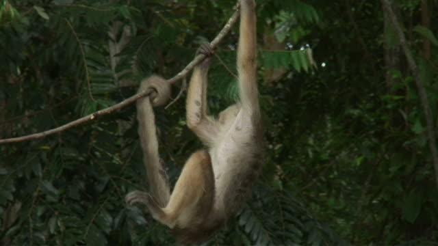 WS TD TU View of ape playing on branch / Manaus,  Amazonas, Brasil