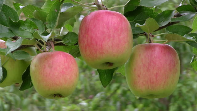 cu view of apples at tree / serrig, rhineland-palatinate, germany - small group of objects stock videos & royalty-free footage