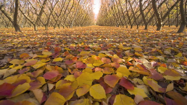 WS T/L View of apricot trees with fallen leaves in orchard / Cromwell, South Island, New Zealand