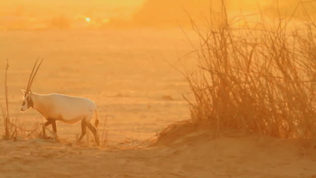 MS View of Arabian Oryx (Oryx leucoryx) ( xf 300) adult in desert at Yotvata nature reserve during sunset / eilat, negev desert, Israel