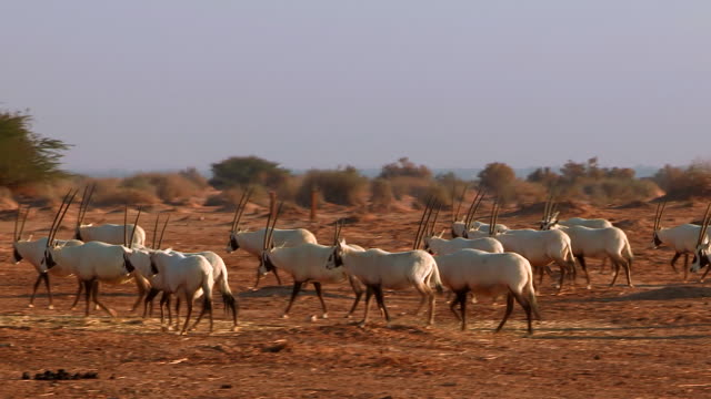 ms pan view of arabian oryx (oryx leucoryx) ( xf 300) large herd in desert at yotvata nature reserve / eilat, negev desert, israel - 哺乳類点の映像素材/bロール