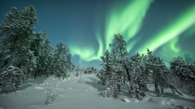 MS PAN T/L View of aurora with frost covered trees on cold winter night / Yellowknife, Northwest Territories, Canada