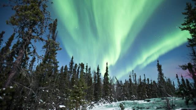 WS T/L View of aurora with trees in foreground / Yellowknife, Northwest Territories, Canada