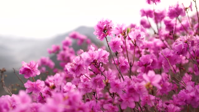 View of Azalea in Cheonjusan Mountain