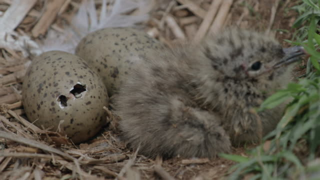 View of baby Black-tailed Gulls hatching from egg in Ongjin-gun (Natural habitat for endangered birds), Incheon