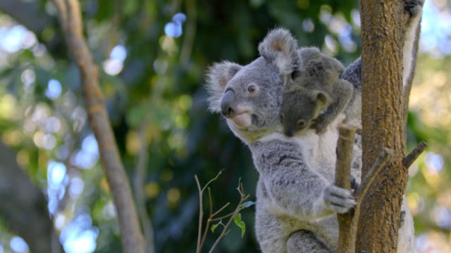 view of baby koala hanging on their mom on the tree in eastern australia - young animal video stock e b–roll