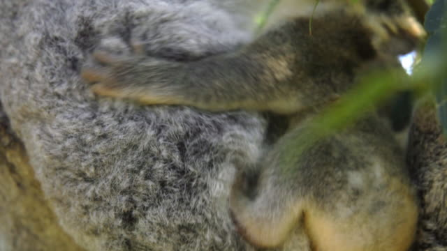 view of baby koala hanging on their mom on the tree in eastern australia - beuteltier stock-videos und b-roll-filmmaterial