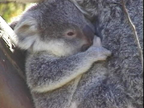 cu view of baby koala in mother's pouch  - beuteltier stock-videos und b-roll-filmmaterial