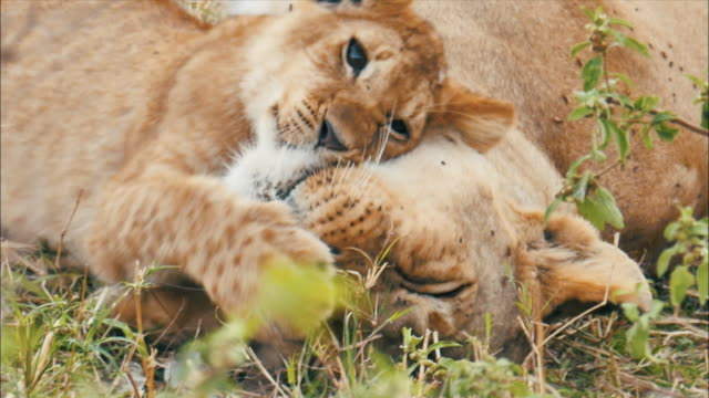 View of baby lion playing with mother lion at Masai Mara National Reserve