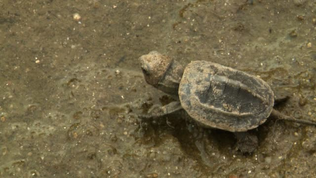 view of baby tortoise stepping toward the river after the hatch - tortoise stock videos & royalty-free footage