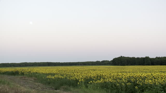 ws view of backs of sunflowers under rising moon / lit-et-mixe, aquitaine,  france - aquitaine stock videos and b-roll footage