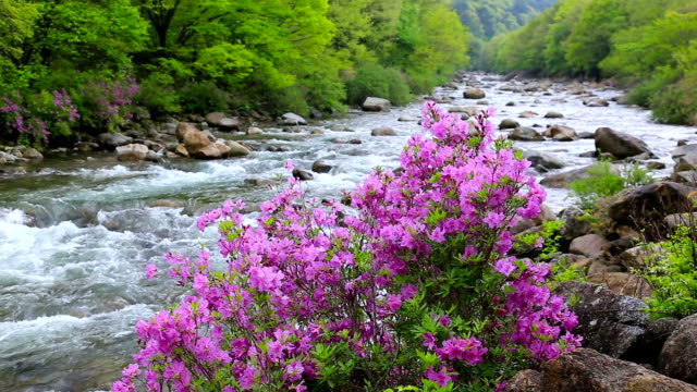 View of Baemsagol Valley and Azalea flower in Mt Chirisan National Park (popular summer vacation destination in Korea)