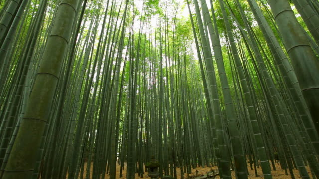 ms view of bamboo forest / kamakura, kanagawa, japan - bamboo plant stock videos and b-roll footage