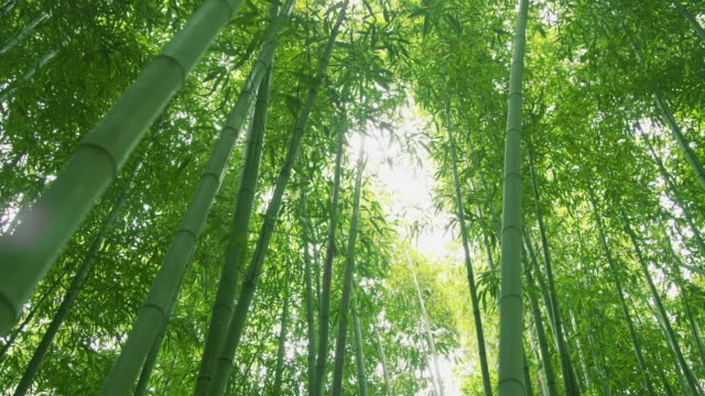 view of bamboo grove at juknokwon(bamboo garden) - bamboo plant stock videos and b-roll footage