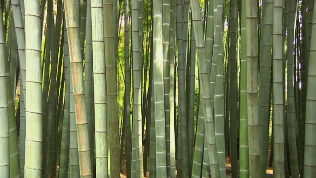 ms view of bamboo stems at bamboo forest / sagano, kyoto, japan - plant stem stock videos & royalty-free footage