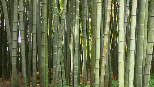 ms view of bamboo stems at bamboo forest / sagano, kyoto, japan - japan stock videos & royalty-free footage