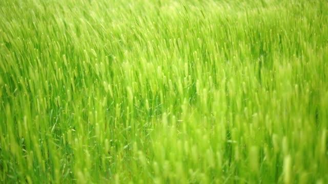 vídeos y material grabado en eventos de stock de view of barley fluttering in the wind in hangyeong-myeon, jeju, jeju island at daytime - balancearse