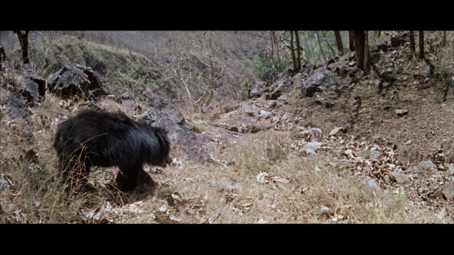 ms view of bear walking - letterbox format stock videos & royalty-free footage