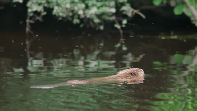 ms ts view of beaver swimming in river / various, united kingdom - beaver stock videos & royalty-free footage