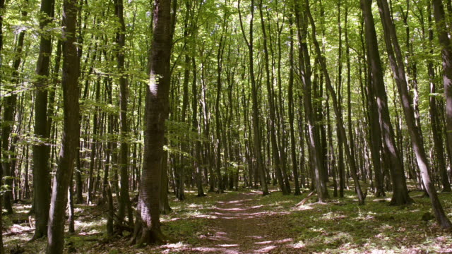 ws view of beech wood (fagus) at jasmund national park, unesco world heritage site / sassnitz, rugen / mecklenburg-western pomerania, germany - beech tree stock videos and b-roll footage