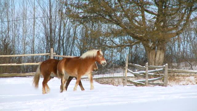 ws pan view of belgian horses walking in snow  / stirling, ontario, canada - arbetsdjur bildbanksvideor och videomaterial från bakom kulisserna