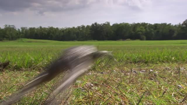 vídeos de stock e filmes b-roll de ws view of big bullfrog hopping away / rayne, louisiana, united states - sapo
