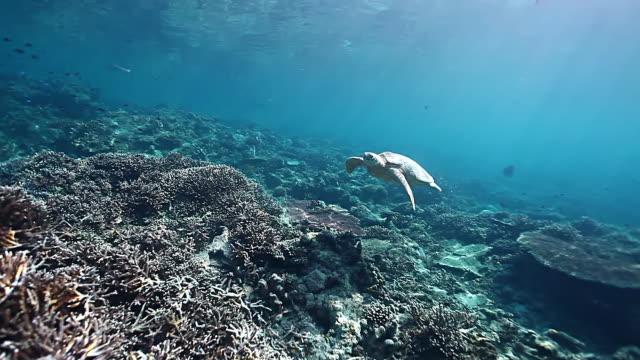 ms view of big green turtle swimming over beautiful reef in shallow calm water / sipadan, semporna, tawau, malaysia - sea turtle stock videos & royalty-free footage