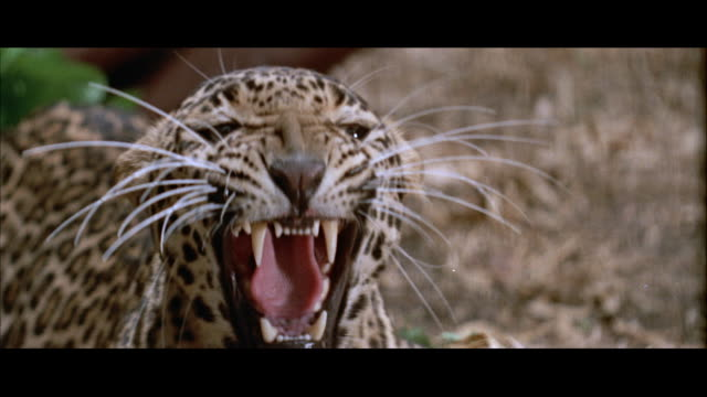 cu view of big head of snarling leopard - ヒョウ点の映像素材/bロール
