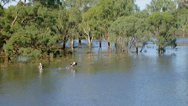 ws aerial ts view of birds flying over floods / griffith, new south wales, australia - utfällda vingar bildbanksvideor och videomaterial från bakom kulisserna