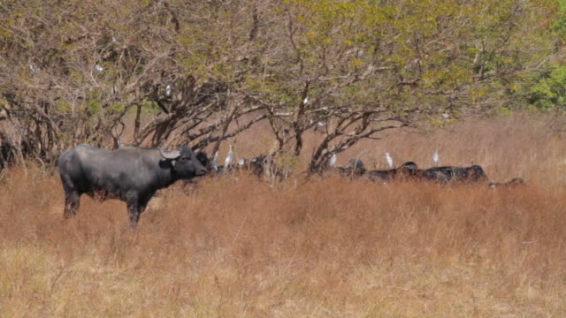ma pan view of birds flying to lock off on buffalo / northern territory, australia - water buffalo stock videos & royalty-free footage