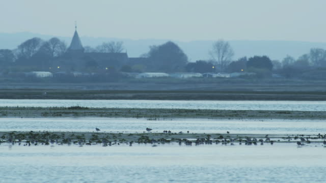 ws view of birds foraging on wetland, with small town church in background / chichester harbour, surrey, uk - foraging stock videos & royalty-free footage
