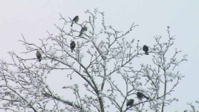 ws view of birds perching on tree during winter / stowe, vermont, usa - 数匹の動物点の映像素材/bロール