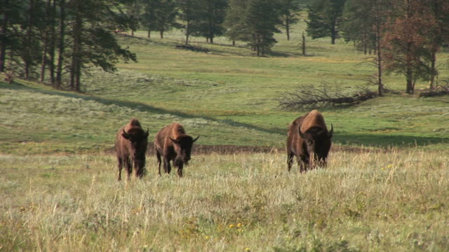 stockvideo's en b-roll-footage met view of bison in custer state park south dakota united states - custer state park
