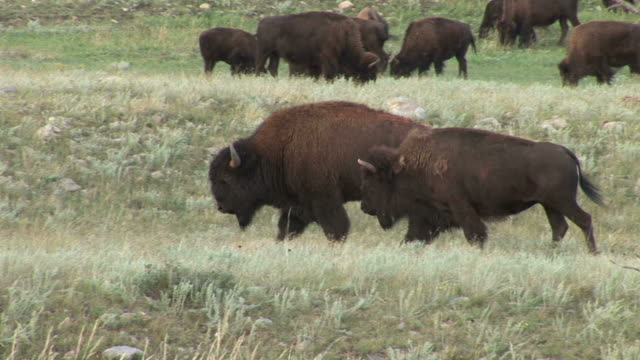 view of bison in custer state park south dakota united states - カスター州立公園点の映像素材/bロール