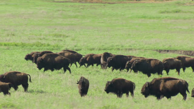 ms aerial ts view of bison in grassy field at tallgrass prairie preserve / oklahoma, united states - american bison stock videos & royalty-free footage