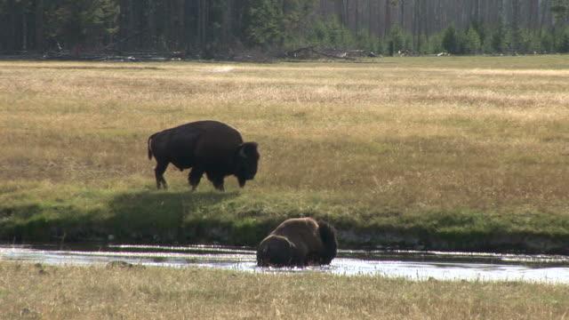 view of bison in yellowstone national park in united states - hovdjur bildbanksvideor och videomaterial från bakom kulisserna