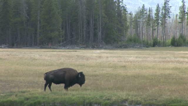 view of bison in yellowstone national park in wyoming united state - hovdjur bildbanksvideor och videomaterial från bakom kulisserna