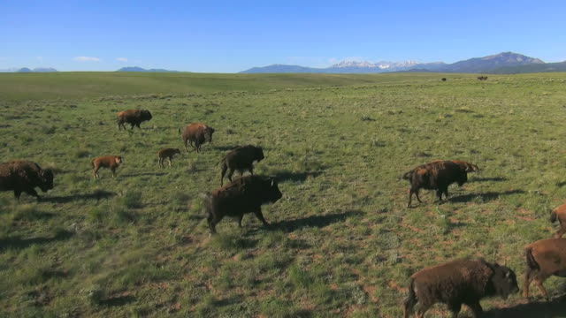 vídeos de stock e filmes b-roll de ws aerial ts view of bisons in forest / westclife, colorado, united states - bisonte americano