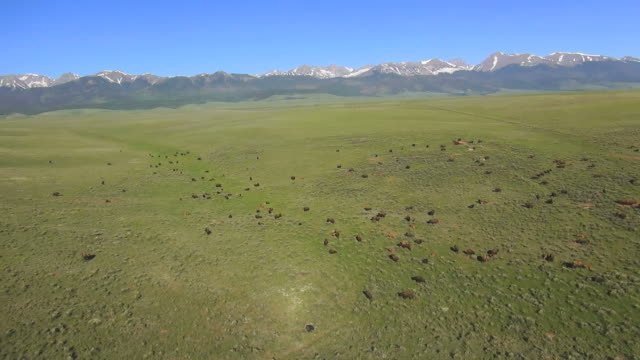 ws aerial view of bisons in forest / westclife, colorado, united states - wild cattle stock videos & royalty-free footage